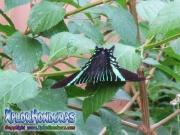 butterfly Colipato Verde, Urania Fulgens, Urania Swallowtail Moth, Green Urania