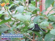 Mariposa Urania Fulgens, Colipato Verde, Urania Swallowtail Moth, Green Urania