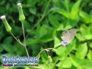 butterfly Cupido comyntas Eastern Tailed Blue Everes comyntas