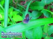 butterfly Eastern Tailed Blue Everes comyntas Cupido comyntas