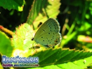 butterfly Everes comyntas Eastern Tailed Blue Cupido comyntas