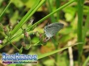 Eastern Tailed Blue Everes comyntas Cupido comyntas