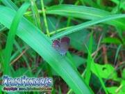 mariposa Cupido comyntas Everes comyntas Eastern Tailed Blue