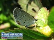 mariposa Eastern Tailed Blue Everes comyntas Cupido comyntas honduras