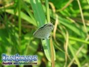 mariposa Eastern Tailed Blue Everes comyntas Cupido comyntas