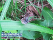 mariposa Everes comyntas Eastern Tailed Blue Cupido comyntas honduras