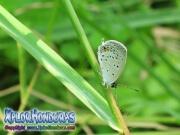 mariposa Everes comyntas Eastern Tailed Blue Cupido comyntas