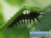 Agraulis Vanillae larva
