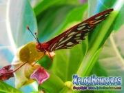 Agraulis Vanillae Mariposa Espejitos