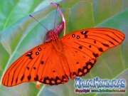 Agraulis Vanillae Mariposa