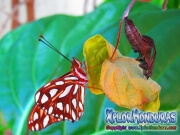 Agraulis Vanillae maryposa