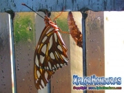 Agraulis Vanillae Passion Butterfly