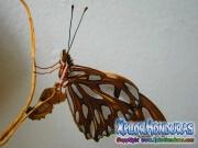 Butterfly Gulf Fritillary