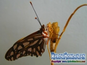 Butterfly Vanillefalter