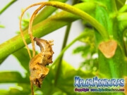 capullo Agraulis Vanillae Mariposa