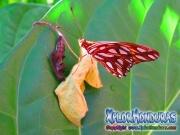 Capullo Mariposa Agraulis Vanillae