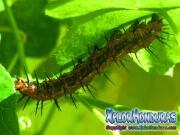 Larva Agraulis Vanillae