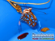 Mariposa Agraulis Vanillae naciendo