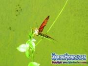 Mariposa Agraulis Vanillae posando
