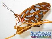 Mariposa Anaranjada Agraulis Vanillae