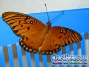 Mariposa de Maracuya Agraulis Vanillae