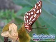 Mariposa Espejitos Agraulis Vanillae