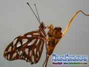 Maryposa Maracuya Agraulis Vanillae