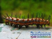 Oruga Mariposa Agraulis Vanillae