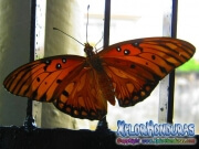 Passion Butterfly Agraulis Vanillae