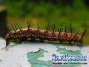 Vanillefalter butterfly caterpillar