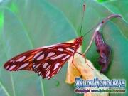 Vanillefalter Butterfly