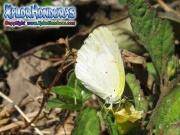 butterfly Eurema lisa Little Yellow
