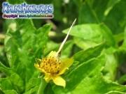 butterfly Pyrisitia lisa Eurema lisa Little Yellow