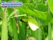 Eurema lisa Little Yellow