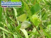 Eurema lisa Pyrisitia lisa Little Sulphur female male
