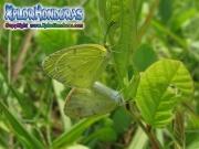 Little Yellow Eurema lisa male female