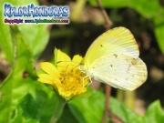 mariposa blanco amarilla Eurema lisa Little Yellow