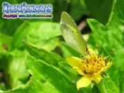 mariposa Eurema lisa Little Yellow