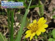 mariposa Little Yellow Eurema lisa