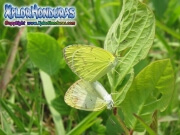 Pyrisitia lisa Little Sulphur hembra macho
