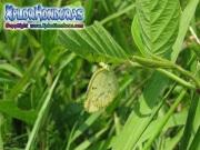 Pyrisitia lisa Little Yellow Eurema lisa
