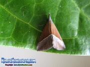mariposa-hypena-proboscidalis-butterfly-honduras-1