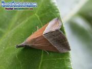 mariposa-hypena-proboscidalis-butterfly-honduras-2