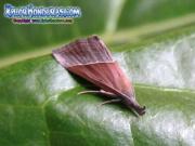 mariposa-hypena-proboscidalis-butterfly-honduras-5
