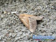 mariposa-hypena-proboscidalis-butterfly-honduras-6