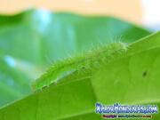 mariposa-hypena-proboscidalis-butterfly-honduras-gusano-1
