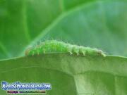 mariposa-hypena-proboscidalis-butterfly-honduras-gusano-2