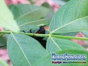 melanis-pixe-sanguinea-mariposa-00-huevos