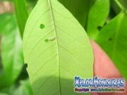 melanis-pixe-sanguinea-mariposa-03-gusano