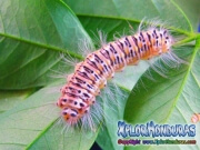 melanis-pixe-sanguinea-mariposa-11-gusano